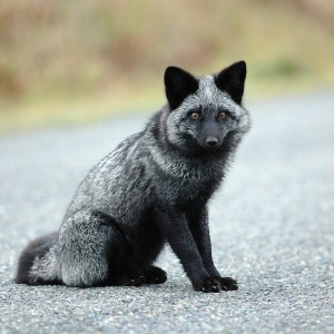 silver fox 5